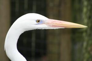 eye egret