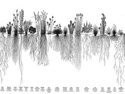 native grasses root systems