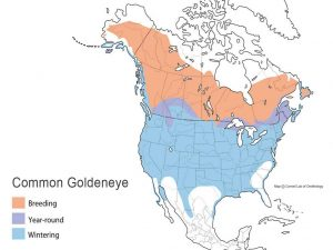 Goldeneye distribution map by Ducks Unlimited