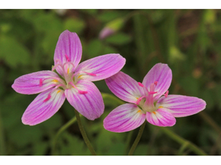 claytonia by Alan Cressler