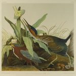 green heron by Audubon