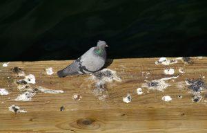 pigeon and poop
