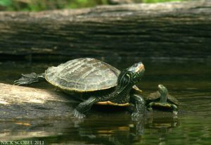 northern-map-turtles-by-nick-scobel