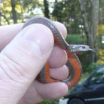 Northern-Redbelly-Snake-by-Digby-Dalton