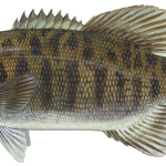 Smallmouth_bass