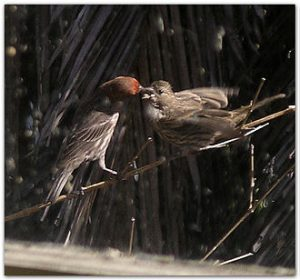 Father_House_finch_feeds_baby