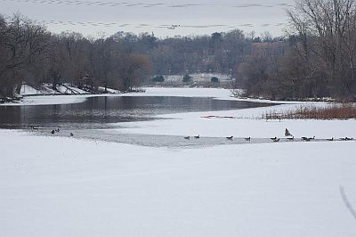 winter birds on river