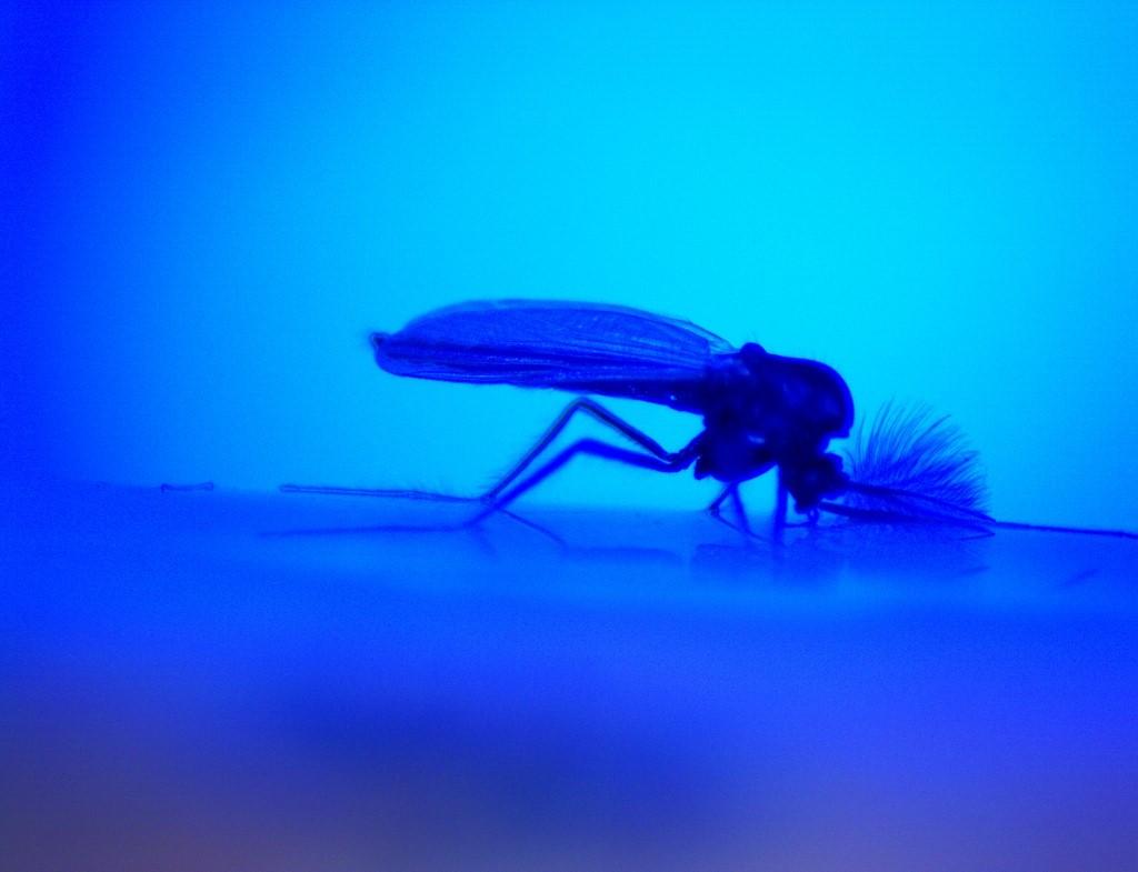 Fox River Midge in Blue