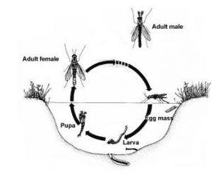 Midge life cycle