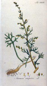 Artemisia_campestris