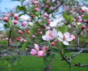 prairie_crabapple_blossoms
