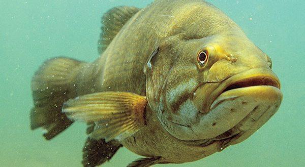 Big Smallmouth Bass
