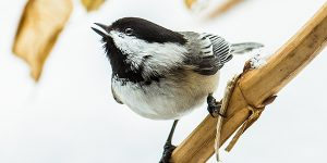 bird_black-capped-chickadee-winter-michigan_jennifer-kocher_600x300