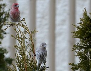 Couple_of_House_Finches