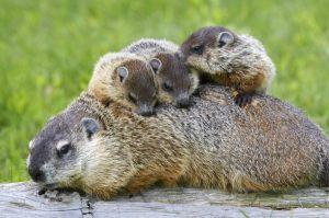 groundhog with babies