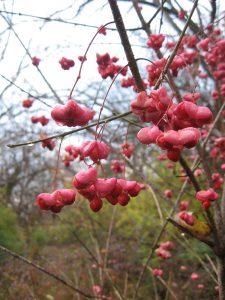 Euonymus_atropurpureus_fruit