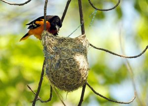 Baltimore-Oriole-at-nest crpd