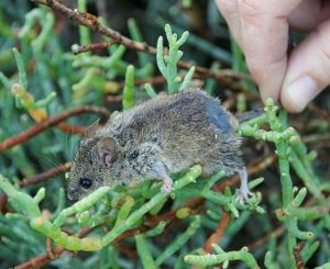 Western_harvest_mouse