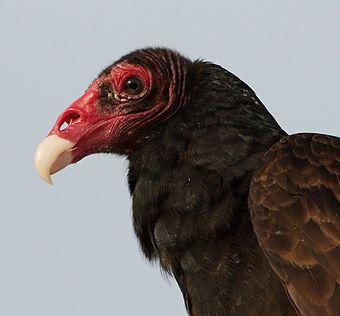 Turkey vulture scavenger