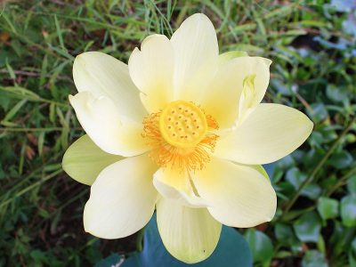 American_Lotus_(Nelumbo_lutea)_By Altairisfar - Own work, CC BY-SA 3.0