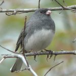 junco by Ken Thomas