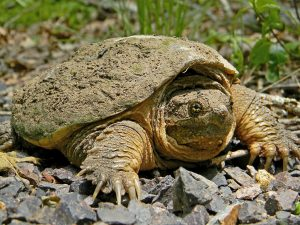 1024px-Common_Snapping_Turtle_Close_Up By Dakota L - Own work CC BY-SA 3