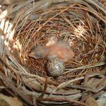 Newborn_Northern_Cardinal_in_its_nest