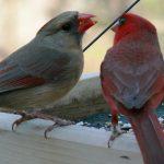 Northern_Cardinal_Pair By Ken Thomas