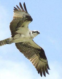 Osprey photo by Tom Schrader