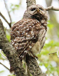 Female barred owl along lower Fox River
