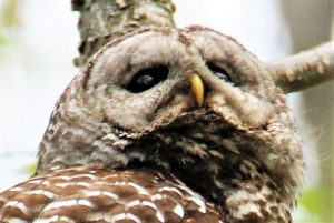 Close-up of Female barred owl