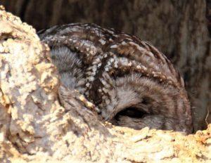 Female barred owl in nest Cavity along lower Fox River
