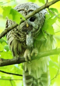 Female barred owl with vole