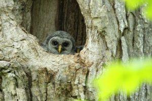 Two owlets in nest cavity along lower Fox River