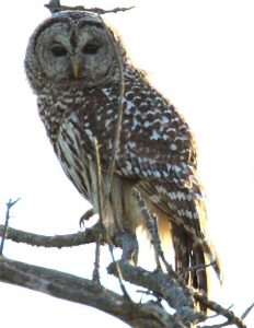 Female-Barred-Owl-perched-on-a-tree