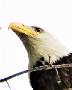 bald eagle by Tom Schrader